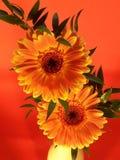 Margherita gialla Fotografia Stock Libera da Diritti