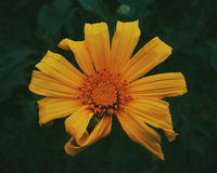 Margherita gialla Fotografie Stock