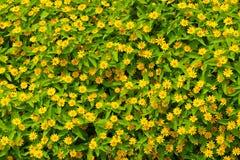 Margherita gialla al di sotto della mattina Fotografie Stock