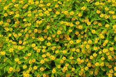 Margherita gialla al di sotto della mattina Immagini Stock