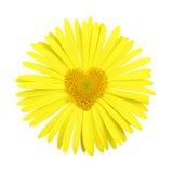 Margherita gialla con cuore nel centro Fotografia Stock