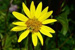 Margherita gialla del cespuglio fotografia stock