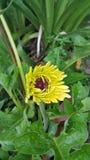 Margherita gialla della gerbera Fotografie Stock Libere da Diritti