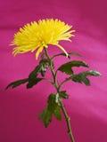 Margherita gialla di callistephorus Fotografia Stock Libera da Diritti