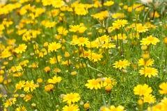 Margherita gialla di dahlberg Fotografia Stock Libera da Diritti
