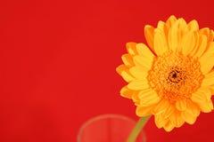 Margherita gialla di Gerber su colore rosso Fotografie Stock Libere da Diritti