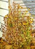 Margherita gialla gialla di morte all'angolo della tettoia Immagini Stock