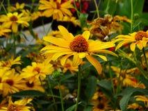 Margherita gialla - hirta di Rudbeckia fotografia stock