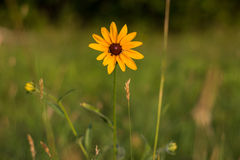 Margherita gialla in un campo Fotografia Stock