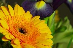Margherita gialla vibrante Immagine Stock