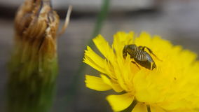 Margherita gialla - yellow daisy with insect Stock Image