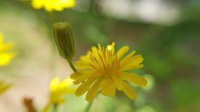Margherita gialla - yellow daisy Royalty Free Stock Images
