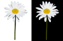 Margherita isolata su fondo bianco e nero Fotografie Stock