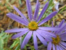 Margherita lilla Fotografia Stock Libera da Diritti