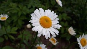 Margherita luminosa fra l'erba fotografia stock libera da diritti