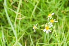 Margherita minuscola nell'erba verde Fotografia Stock Libera da Diritti