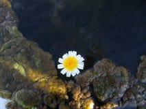 Margherita nel fiume Fotografie Stock
