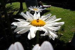 Margherita nel giardino Fotografie Stock