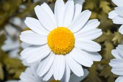 Margherita o margherite inglese bianca Fine alta e macro fotografia stock