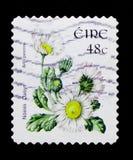 Margherita - perennis del Bellis, serie 2004-2011 di Definitives dei fiori selvaggi, circa 2004 Immagini Stock Libere da Diritti