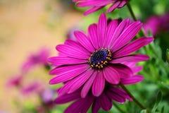 Margherita porpora del fiore di Osteosperumum Fotografia Stock