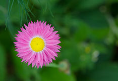Margherita rosa adorabile Fotografia Stock Libera da Diritti