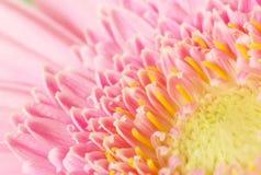 Margherita rosa della gerbera Fotografia Stock