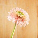 Margherita rosa della gerbera Immagine Stock
