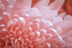 Margherita rosa di colore Immagine Stock