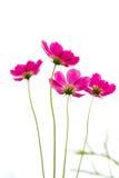 Margherita rosa quattro Immagine Stock
