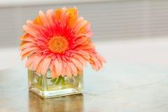 Margherita rosa in vaso Fotografia Stock Libera da Diritti