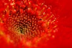 Margherita rossa Fotografia Stock Libera da Diritti