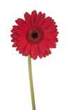 Margherita rossa alta di Gerber Fotografie Stock