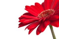 Margherita rossa del gerbera Fotografie Stock Libere da Diritti