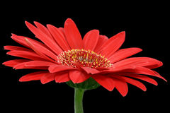 Margherita rossa del gerbera Fotografia Stock