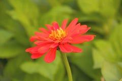 Margherita rossa di estate Fotografia Stock