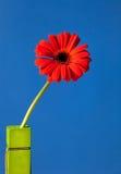 Margherita rossa di Gerber Fotografia Stock Libera da Diritti