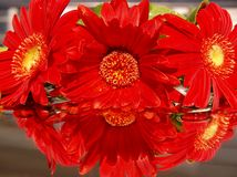 Margherita rossa di Gerber Immagine Stock