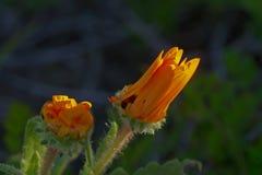 Margherita selvatica, petali piegati nel primo mattino Fotografia Stock Libera da Diritti
