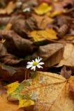 Margherita sola in un campo dei fogli di autunno Fotografia Stock Libera da Diritti