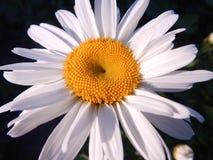Margherita soleggiata meravigliosa Fotografia Stock