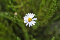 Margherita sul fondo verde della natura Fotografie Stock