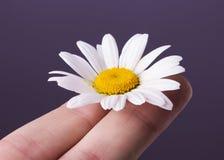 Margherita sulle dita su fondo bianco fotografia stock