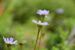 Margherita violetto-chiaro fotografie stock libere da diritti