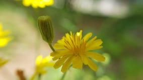 Margheritagialla - geel madeliefje Royalty-vrije Stock Afbeeldingen
