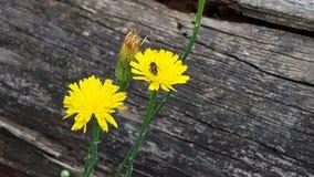 Margheritagialla - geel madeliefje met insect Stock Afbeeldingen