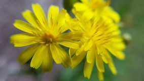 Margheritagialla - gele daisys Royalty-vrije Stock Fotografie