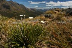 Margherite alpine che crescono nel parco nazionale di Fiordland Fotografia Stock