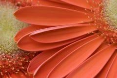 Margherite arancioni di Gerber Immagini Stock Libere da Diritti