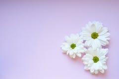 Margherite bianche della luce sul fondo lilly Immagine Stock